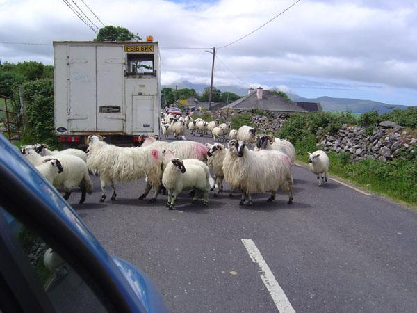 Typical driving obstacle in the west of Ireland.