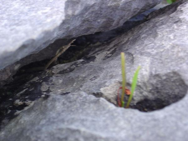 Typical Burren landscape... plants growing in the cracks of the rocks.